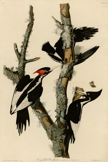 Art Prints of Ivory Billed Woodpecker by John James Audubon