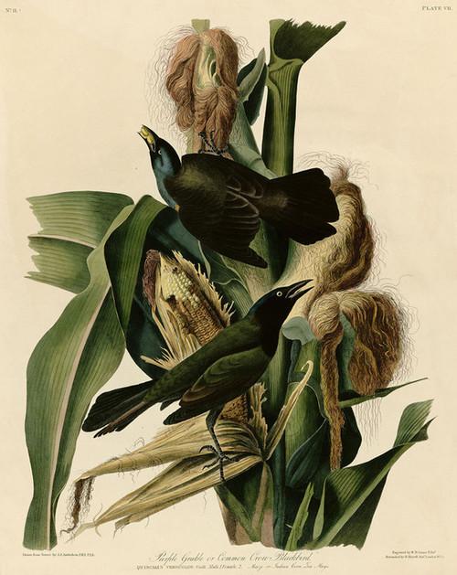 Art Prints of Purple Grackle or Common Crow, Blackbird by John James Audubon