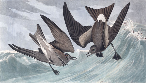 Art Prints of Fork Tailed Petrel by John James Audubon