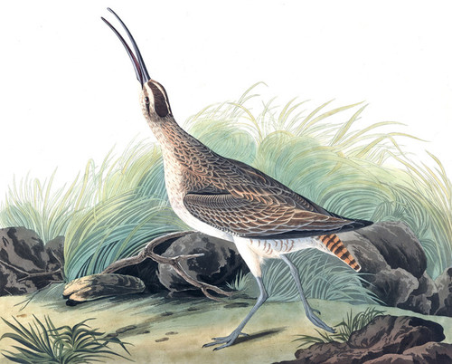 Art Prints of Hudsonian Curlew by John James Audubon