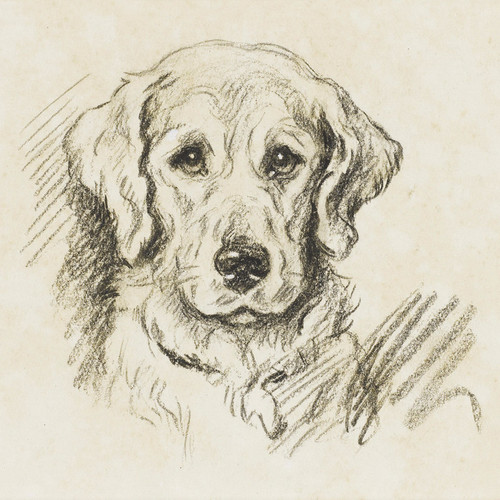 Art Prints of Paddy, a Golden Retriever by Lucy Dawson