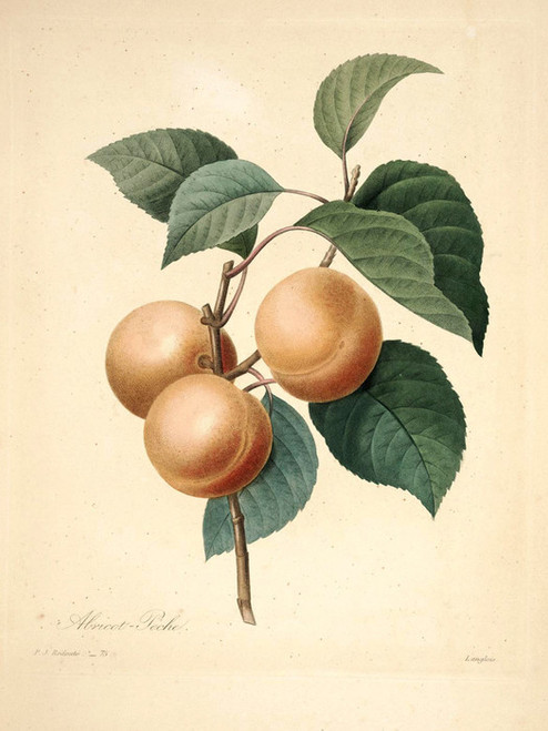 Art Prints of Apricot Peach, Plate 78 by Pierre-Joseph Redoute