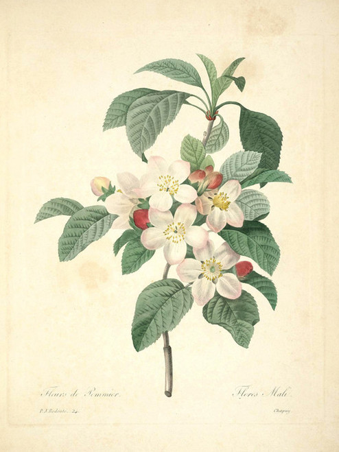 Art Prints of Apple Blossom, Plate 27 by Pierre-Joseph Redoute