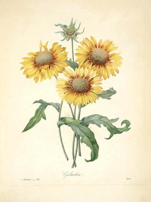 Art Prints of Blanketflower, Plate 33 by Pierre-Joseph Redoute