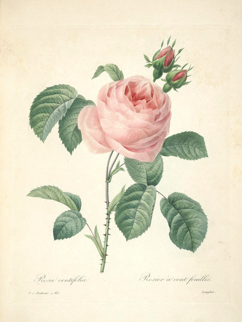 Art Prints of Cabbage Rose, Plate 68 by Pierre-Joseph Redoute