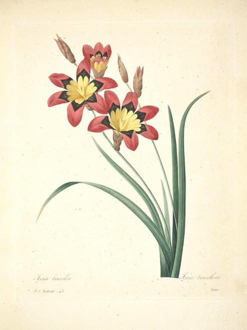 Art Prints of Corn Lily, Plate 48 by Pierre-Joseph Redoute