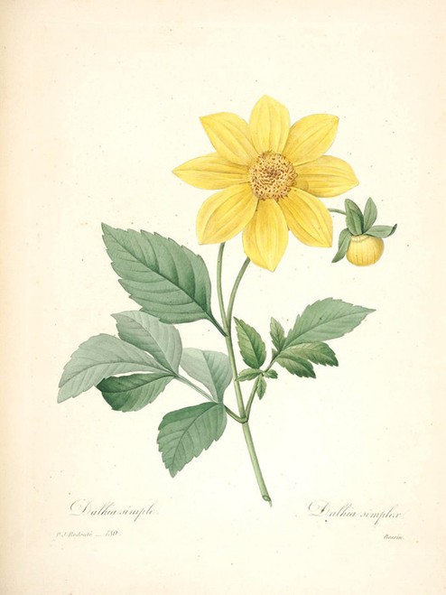 Art Prints of Dahlia, Plate 132 by Pierre-Joseph Redoute