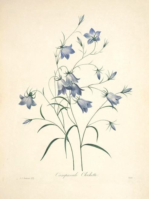 Art Prints of Harebell, Plate 89 by Pierre-Joseph Redoute