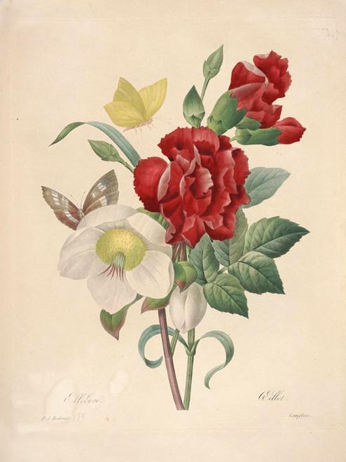 Art Prints of Hellebore, Plate 137 by Pierre-Joseph Redoute