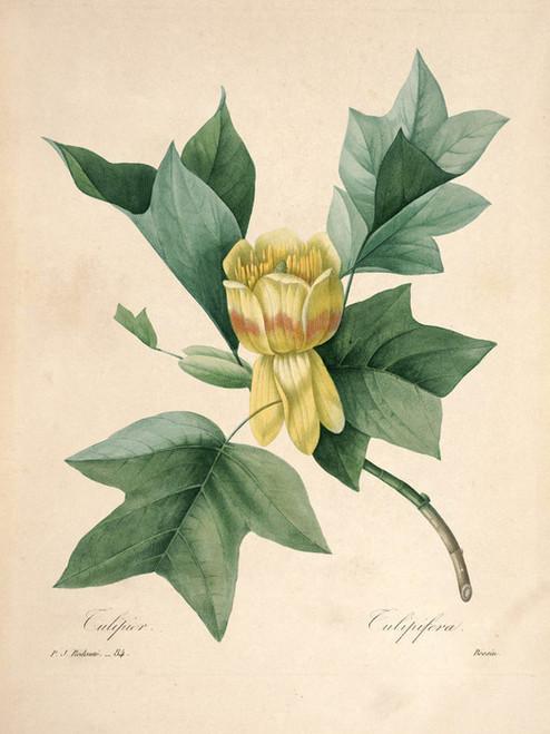 Art Prints of Liriodendron-Tulipifera, Plate 87 by Pierre-Joseph Redoute