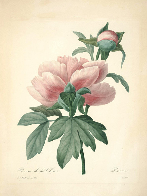 Art Prints of Peony, Plate 42 by Pierre-Joseph Redoute