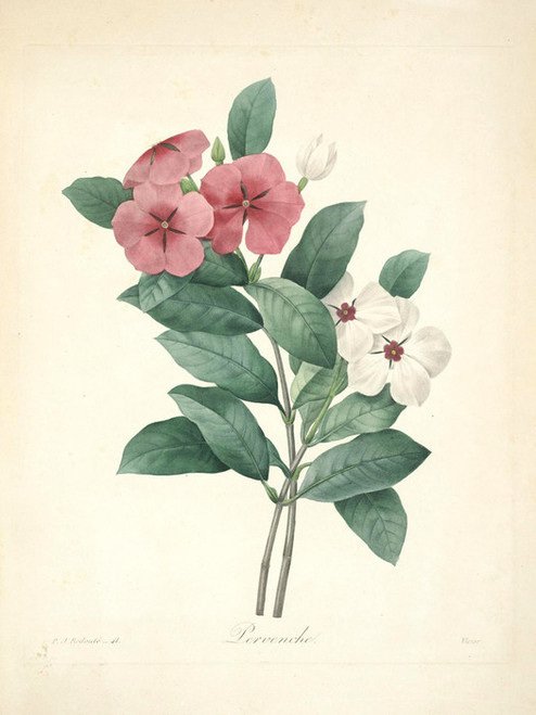 Art Prints of Periwinkle, Plate 44 by Pierre-Joseph Redoute