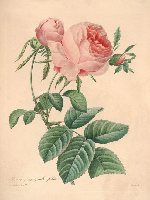 Art Prints of Rose, Plate 134 by Pierre-Joseph Redoute