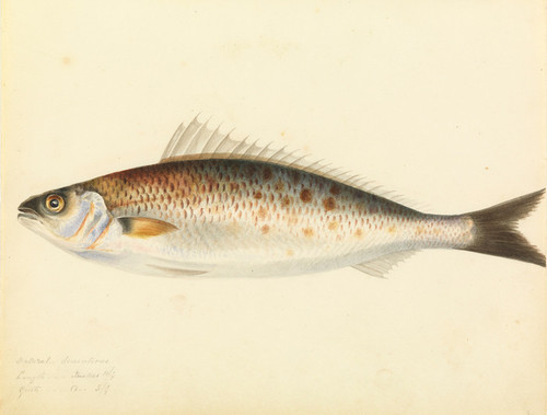 Art Prints of Australian Salmon by W. B. Gould
