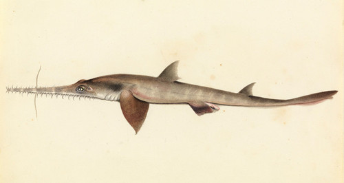 Art Prints of Longnose Saw Shark by W. B. Gould