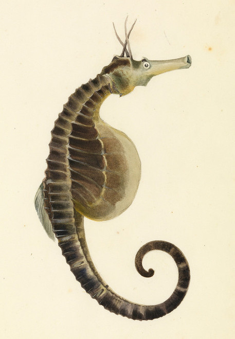 Art Prints of Pot Bellied Sea Horse by W. B. Gould