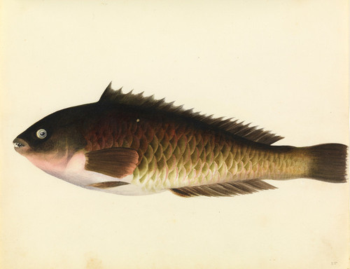 Art Prints of Parrot Fish by W. B. Gould