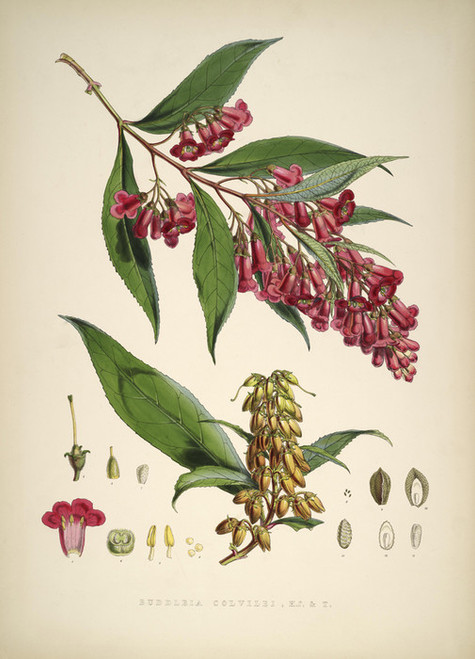 Art Prints of Buddleia Colvilei by Walter Hood Fitch