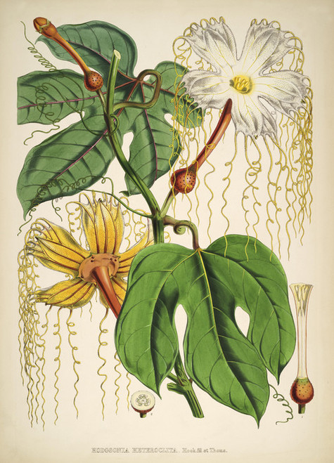 Art Prints of Hodgsonia by Walter Hood Fitch