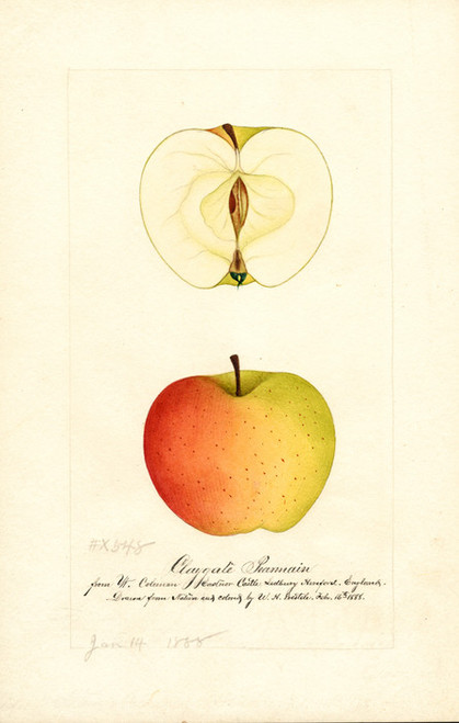 Art Prints of Claygate Pearmain by William Henry Prestele
