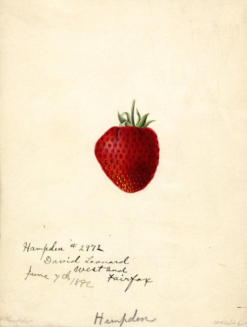 Art Prints of Hampden Strawberry by William Henry Prestele