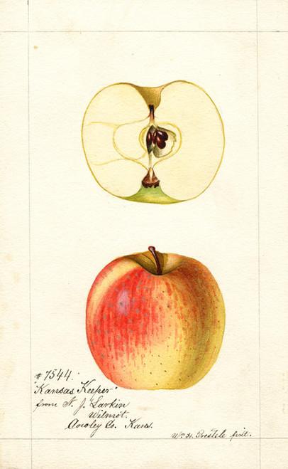 Art Prints of Kansas Keeper Apples by William Henry Prestele