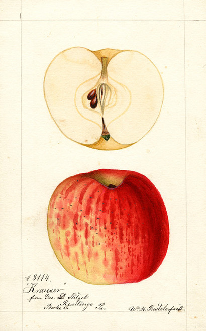 Art Prints of Krauser Apples by William Henry Prestele