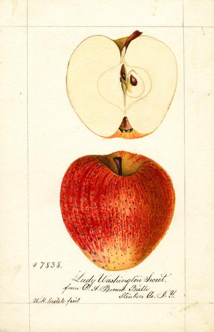 Art Prints of Lady Washington Sweet Apples by William Henry Prestele