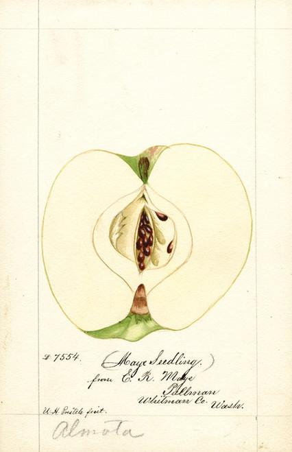 Art Prints of Maye Apples by William Henry Prestele