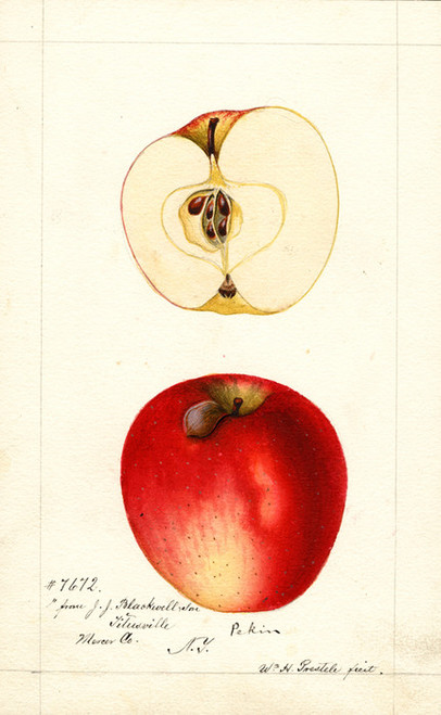 Art Prints of Pekin Apples by William Henry Prestele