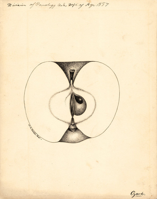 Art Prints of Ozark Apple by William Henry Prestele