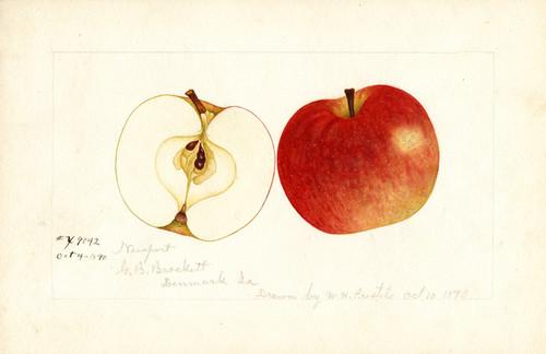 Art Prints of Newport Apples by William Henry Prestele