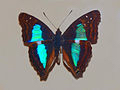 120px-nymphalidae-doxocopa-laurentia-cherubina.jpg