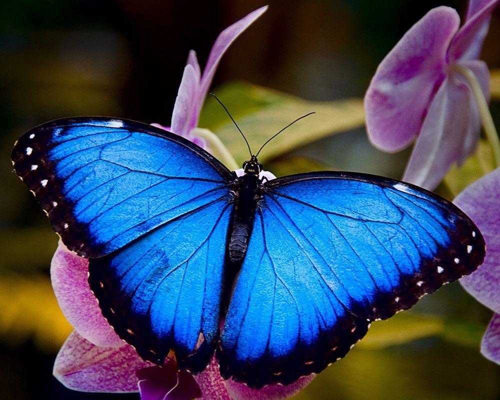 blue-morpho.jpg