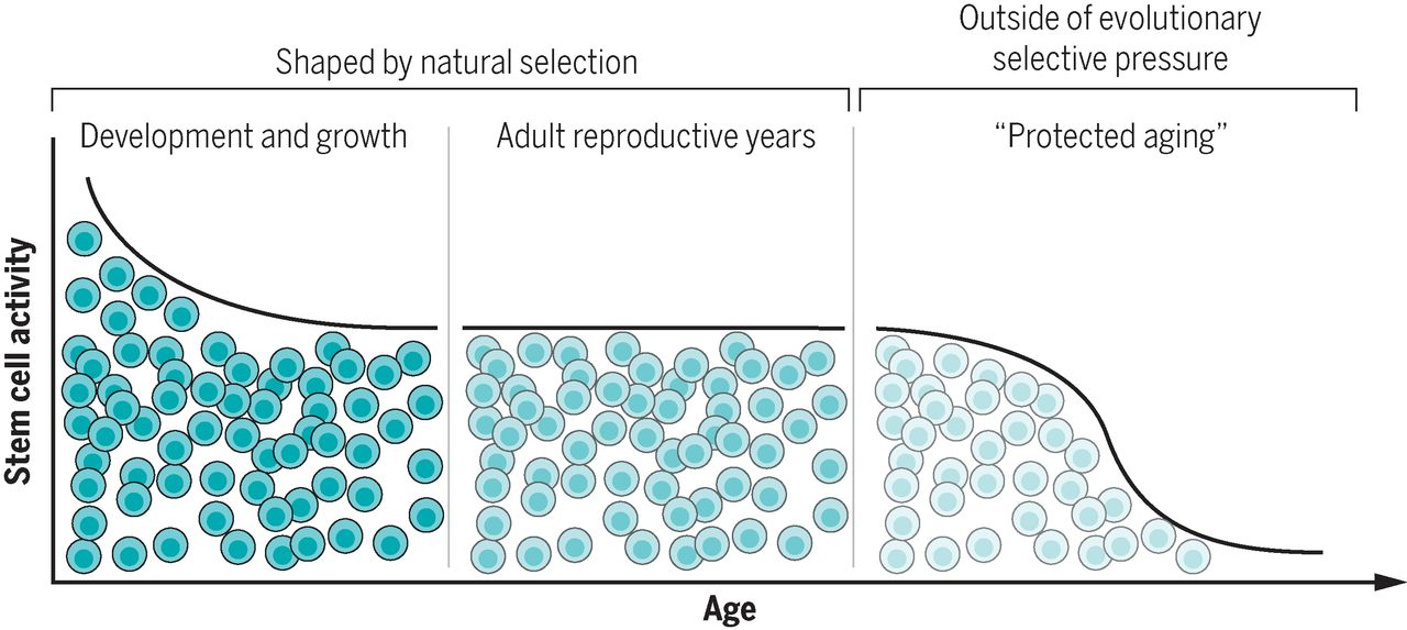 stem-cell-aging.jpg