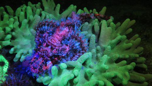 Sea Dragon Fluoro Dual Beam Light - Coral