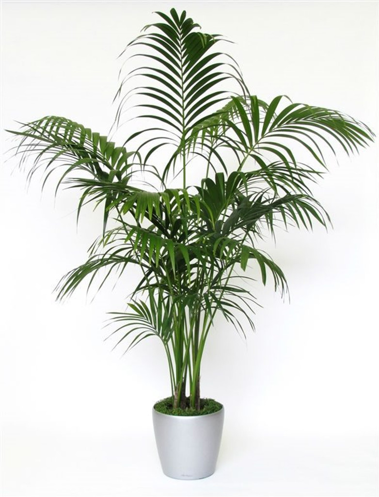 Office Palm, Large indoor Kentia.