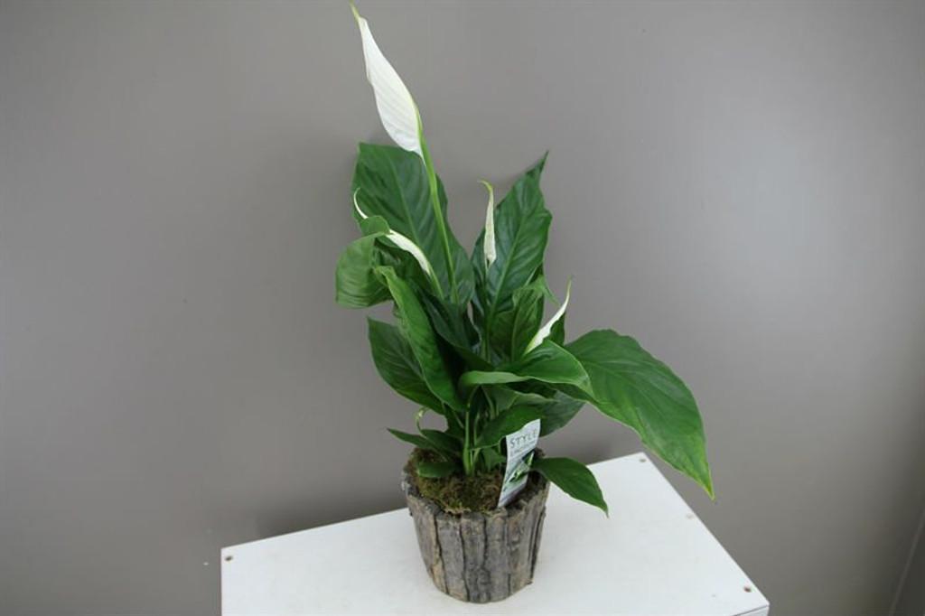 Spathiphyllum Silvio with ceramic planter