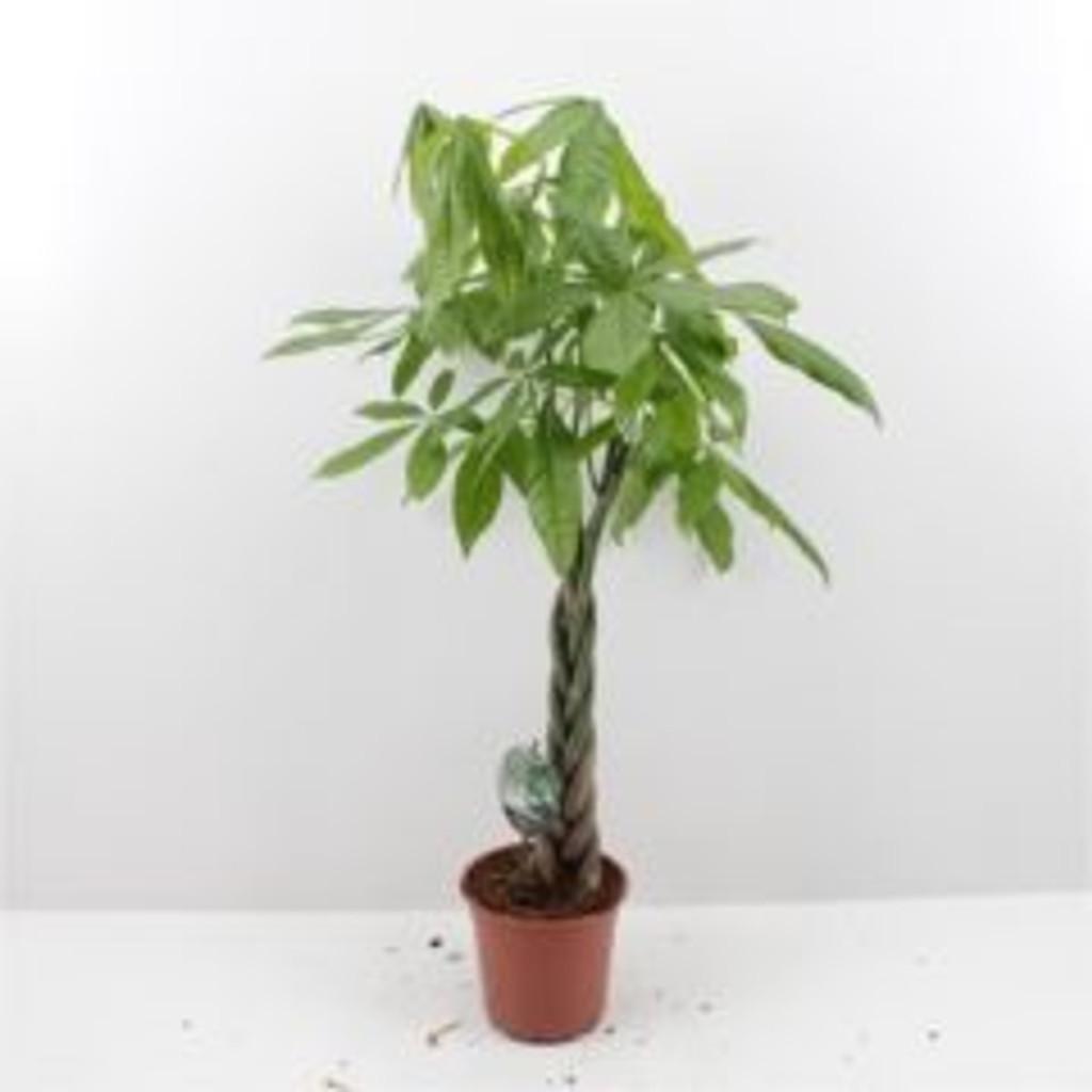 plaited stem money tree