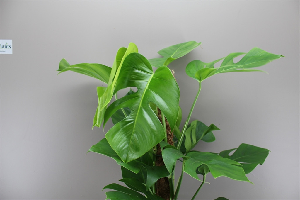 Swiss Cheese Plant - Provided with Moss Stick Support - 2 sizes 80cm and 115cm