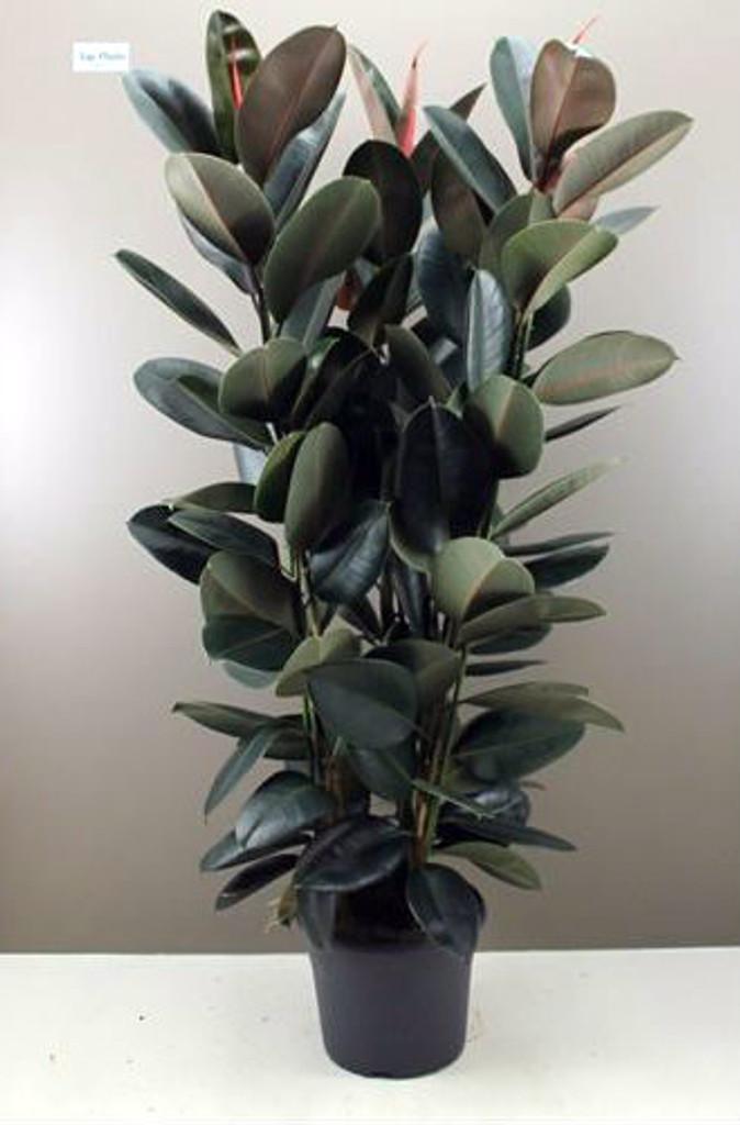 1 8m Rare Rubber Tree Ficus Elastica Abidjan Pot 27cm