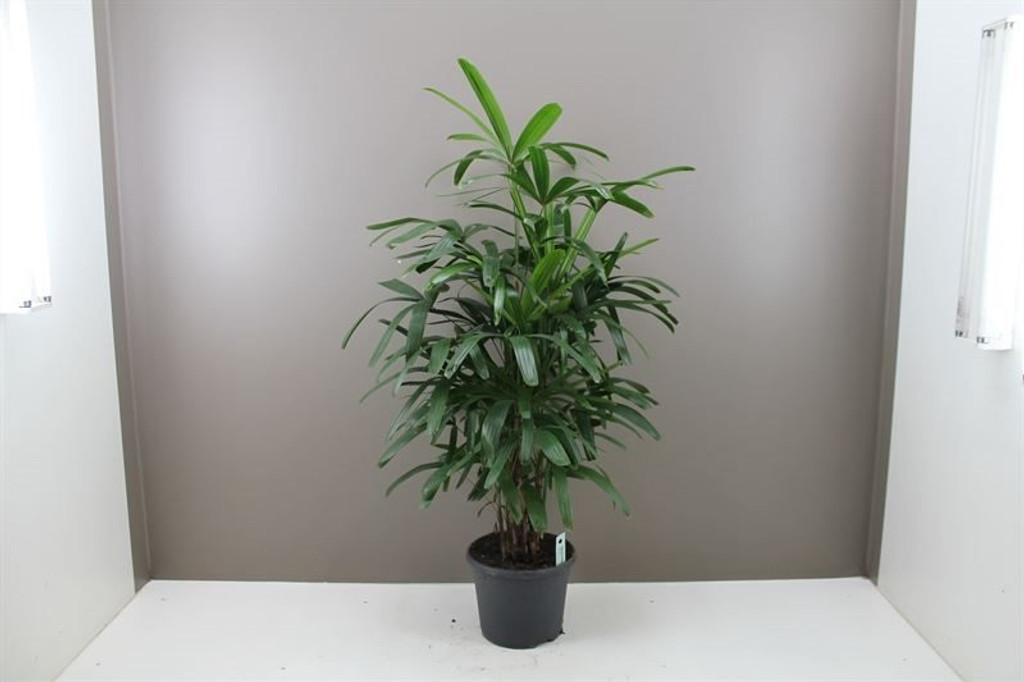 "Extra Large  Indoor Lady Palm  "" Rhapis Excelsa "" 120cm pot 24"