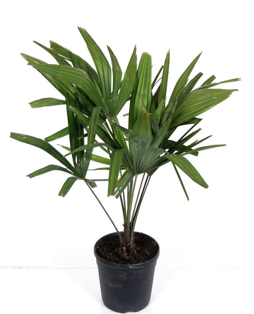 Chusan palm
