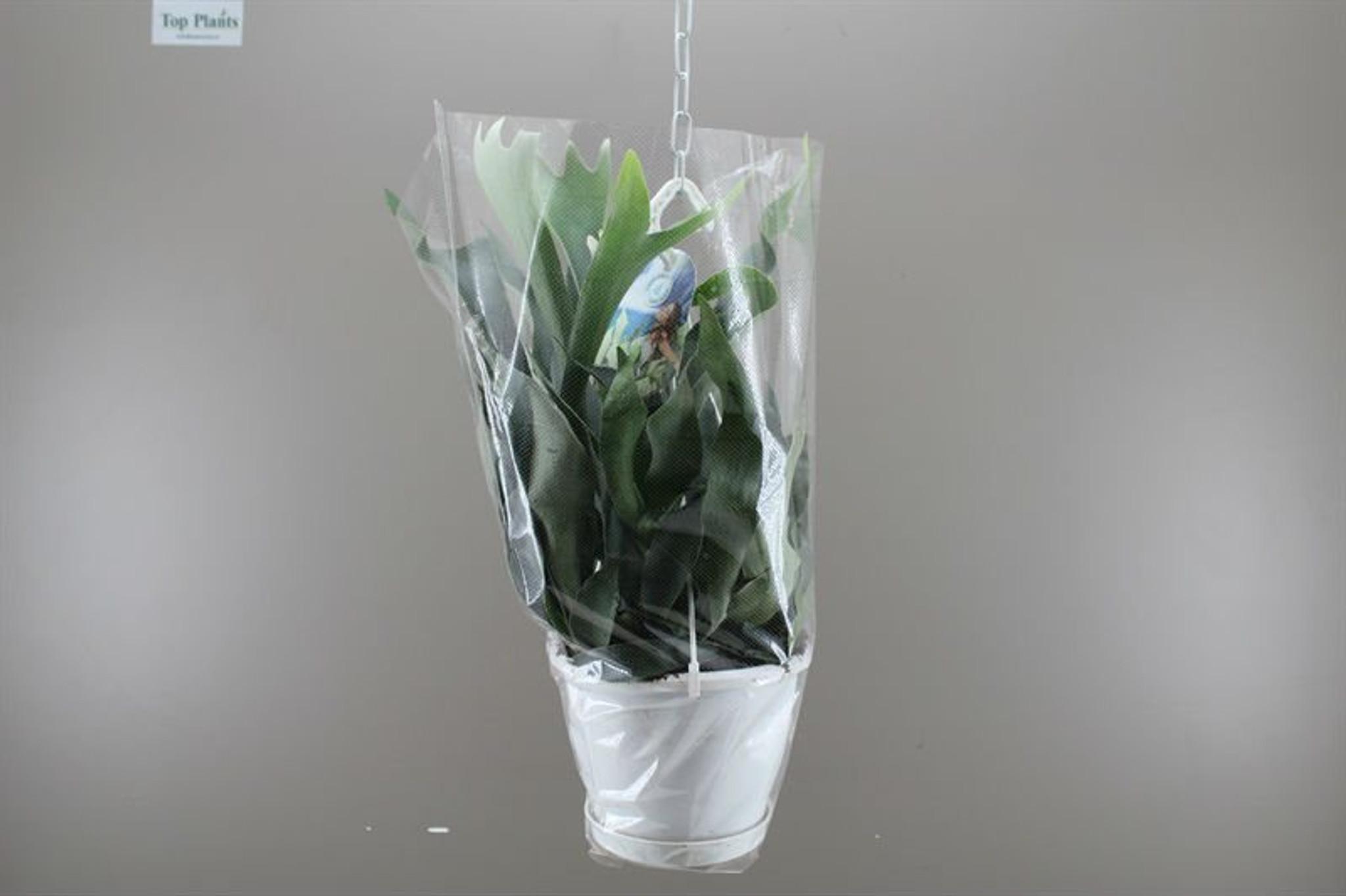 Platycerium Bifurcatum with hanging basket