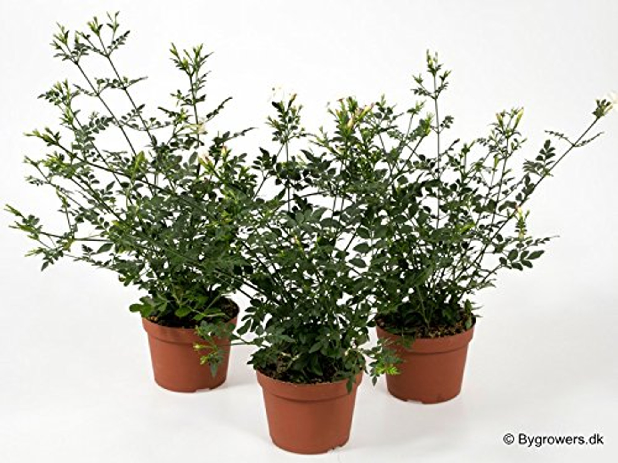Jasmine Jasminium shrub