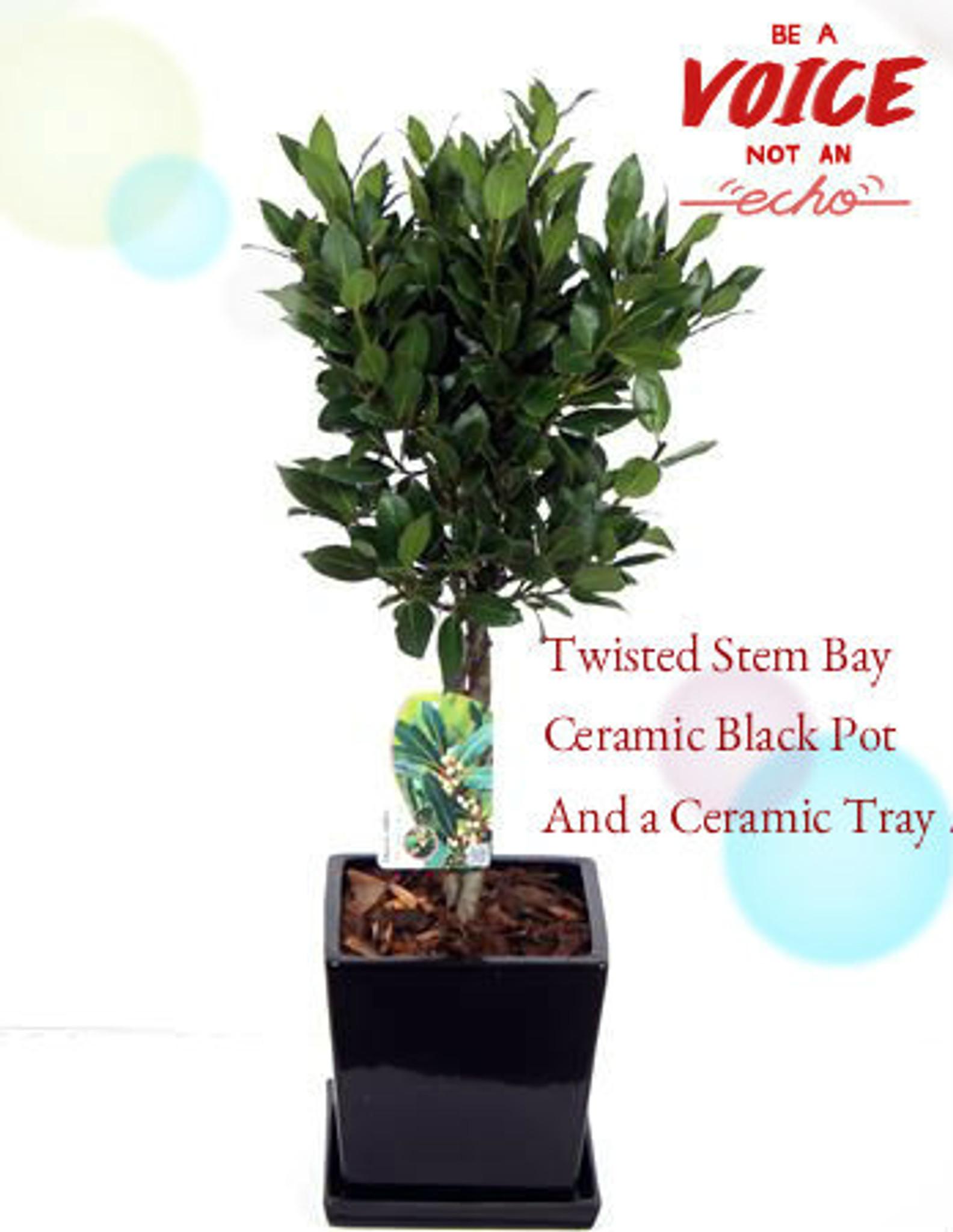 65 cm Bay Tree Laurus Nobilis Plaited Stem Planted in Luxury Black Ceramic planter