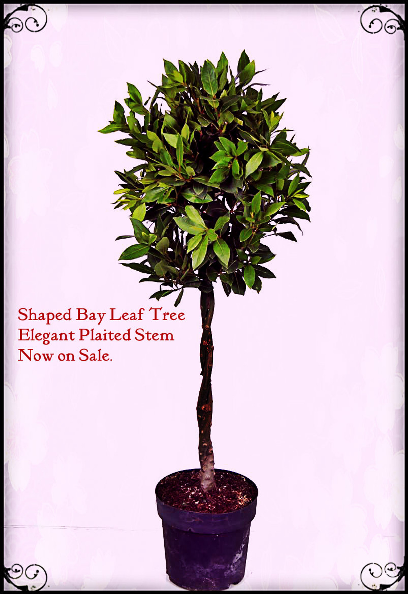 Laurus nobilis Standard Bay Tree - 1 tree Shaped with Plaited Stem - Height 100cm  ( 3ft+)