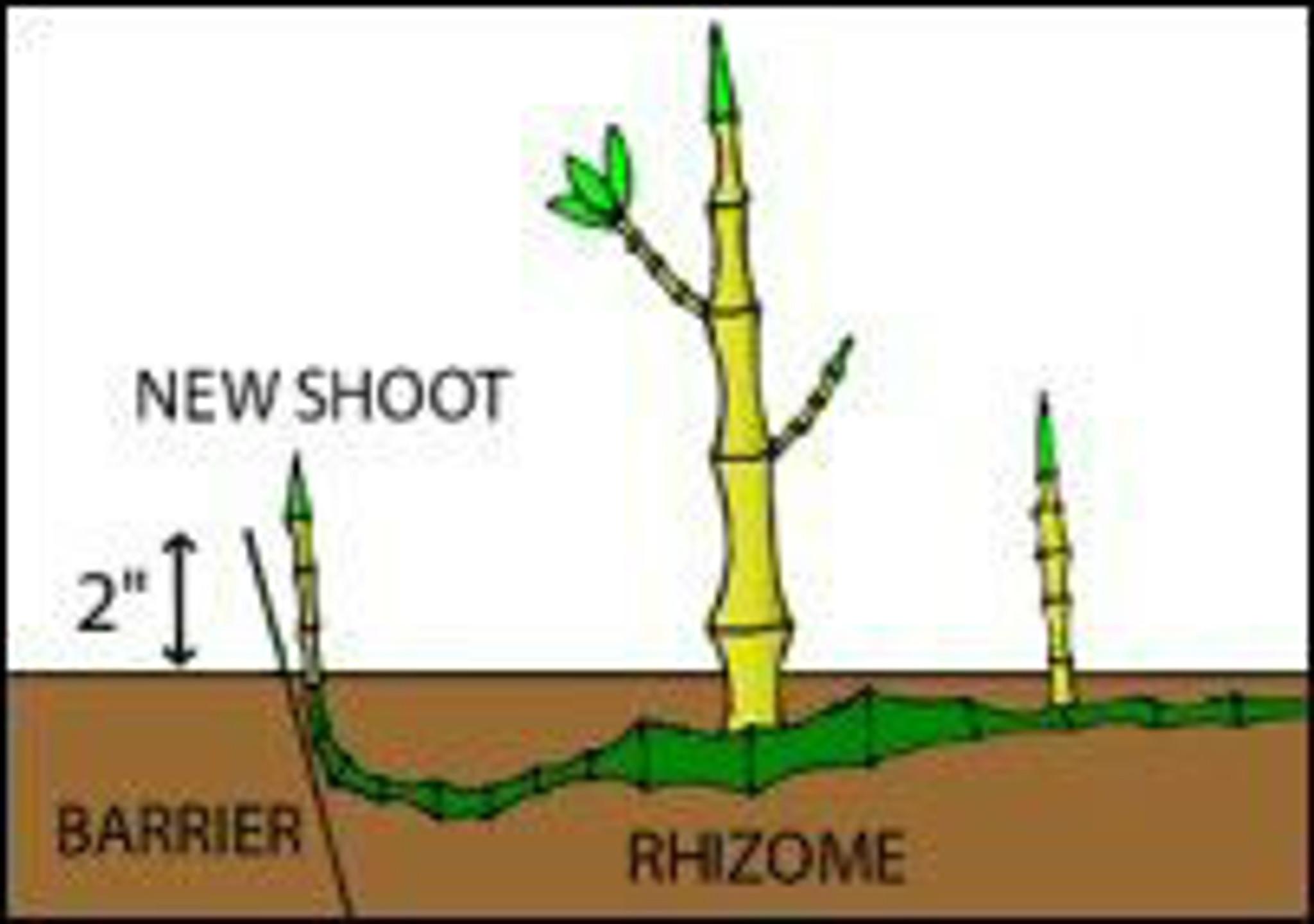 Bamboo rhizome barrier
