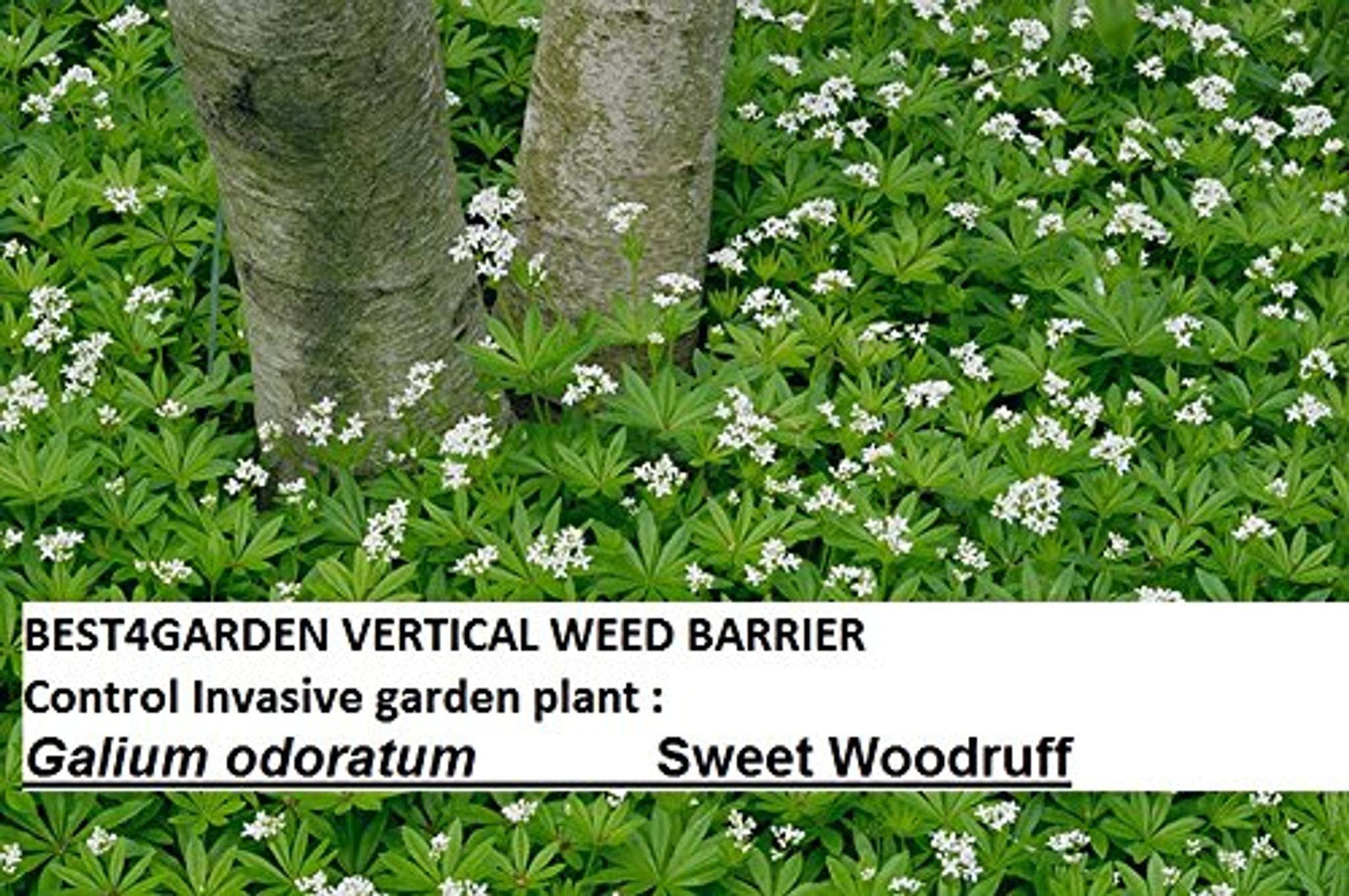 Invasive garden plant  Galium odoratum, the sweetscented bedstraw, woodruff  Also example of a weed that can be controlled with best4garden vertical weed barrier . This plant spread with rhizomes  so the only way is not  let it grow back into the garden by using the  barrier above