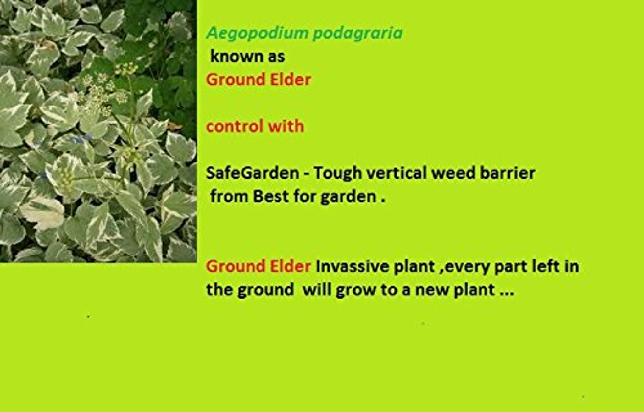 How to control stop avoid of For other uses Bishop's weed  Aegopodium podagraria Illustration Aegopodium  Aegopodium podagraria L. Synonyms[1] Aegopodium angelicifolium Salisb. Aegopodium simplex Lavy Aegopodium ternatum Gilib. nom. inval. Aegopodium tribracteolatum Schmalh. Apium biternatum Stokes Apium podagraria (L.) Caruel Carum podagraria (L.) Roth Aegopodium podagraria L. commonly called ground elder, herb gerard, bishop's weed, goutweed, gout wort, and snow-in-the-mountain, and sometimes called English masterwort,[2] and wild masterwort,[2] is a perennial plant in the carrot family (Apiaceae) that grows in shady places.